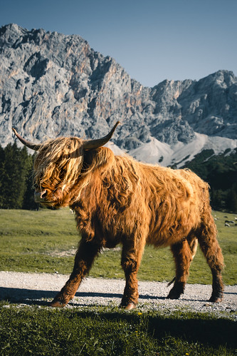 Scottish Highland Cow in the Bavarian Alps from Toni Hoffmann
