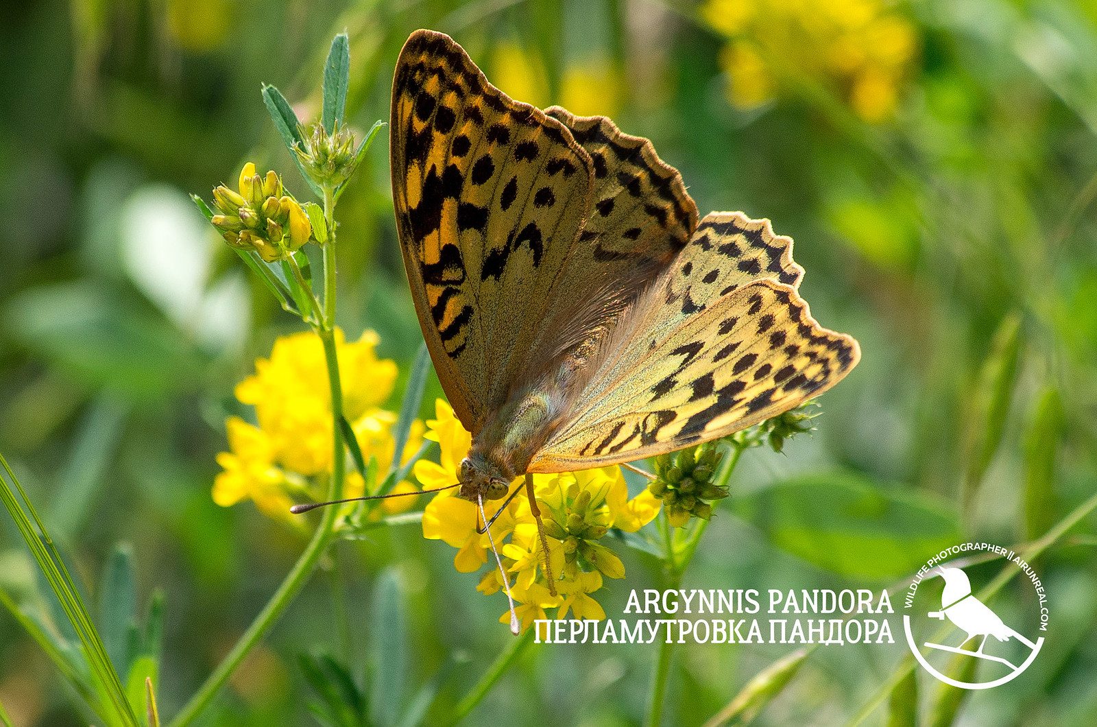 Argynnis pandora // 20180922