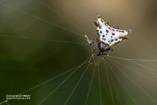 Spiny orb weaver (Acrosomoides acrosomoides) - DSC_9358
