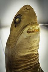 Cookiecutter Shark (Isistius Brasiliensis)