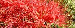 Amaryllidaceae, except daffodils