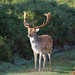 Fallow Deer Dama dama Buck 001-1