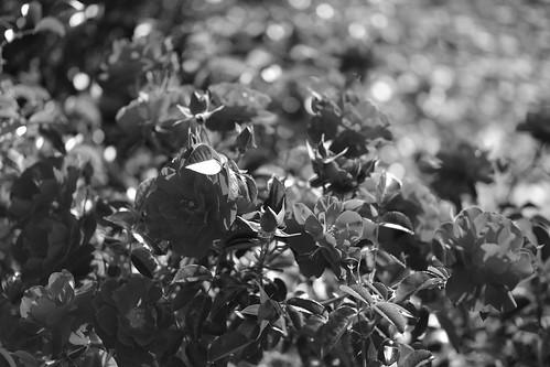 06-09-2018 rose at Haboro-50mm (1)