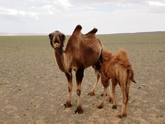 Bactrian camels in the Gobi Desert, Mongolia (23)