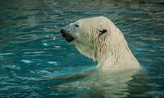 ours blanc, zoo Amneville