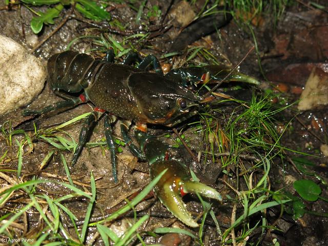 Glenelg Spiny Crayfish (Euastacus bispinosus)