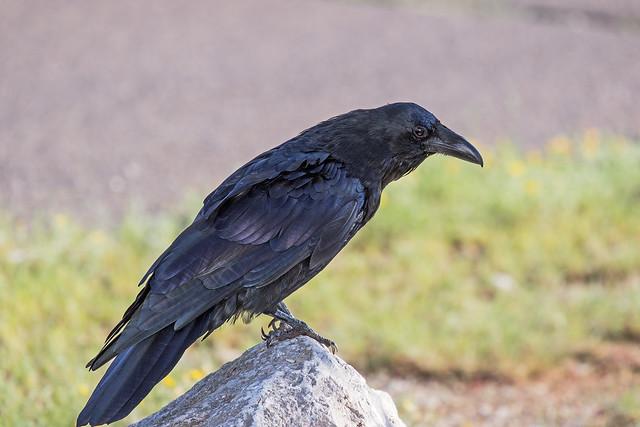 Raven-152-7D2-081118