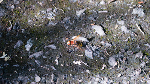 Hornet hoverfly on a footpath