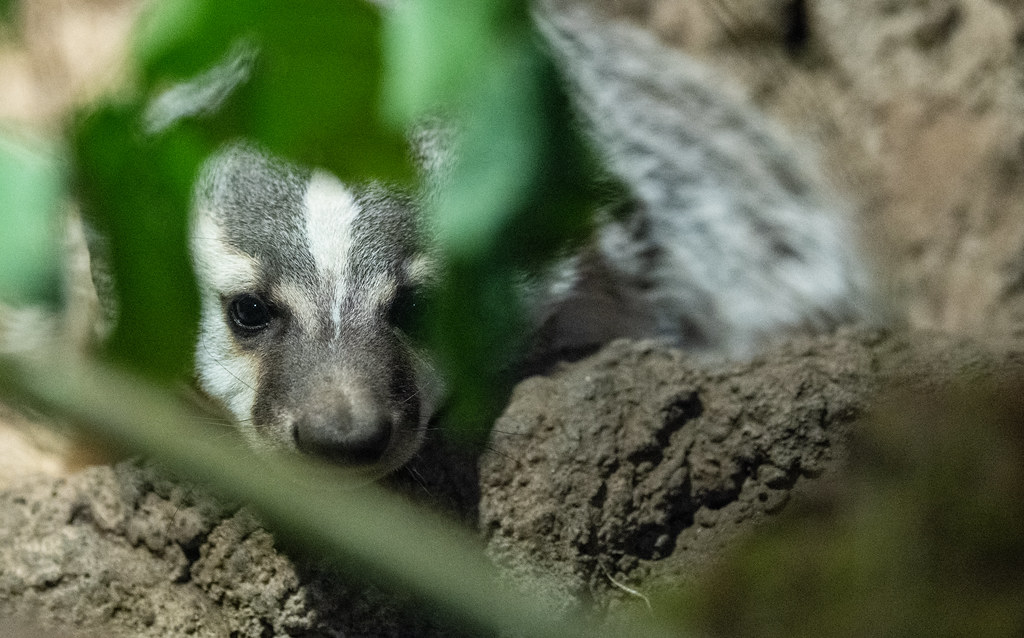 North American Badger_1