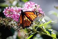 Monarch butterfly, Baltimore, MD