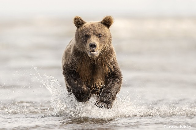 :O watch out! Brown bear cub on a mission to catch up to its mother.