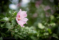 Love it when the Rose of Sharon blooms