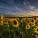 Happy Sunflowers by John Behrends