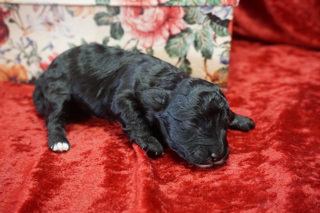 1 Oreo 11.3oz 9 days old (30)