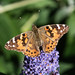 Painted Lady on buddleia desktop