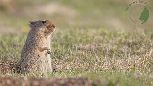 Otomys sloggetti - Sloggett's Rat