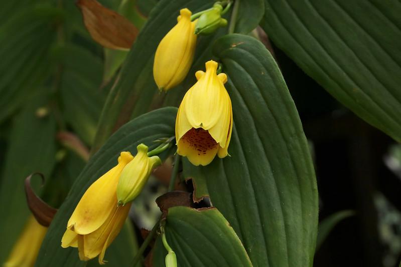 Tricyrtis macranthopsis  キイジョウロウホトトギス