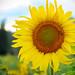 🌻 sunflower by sugarelf