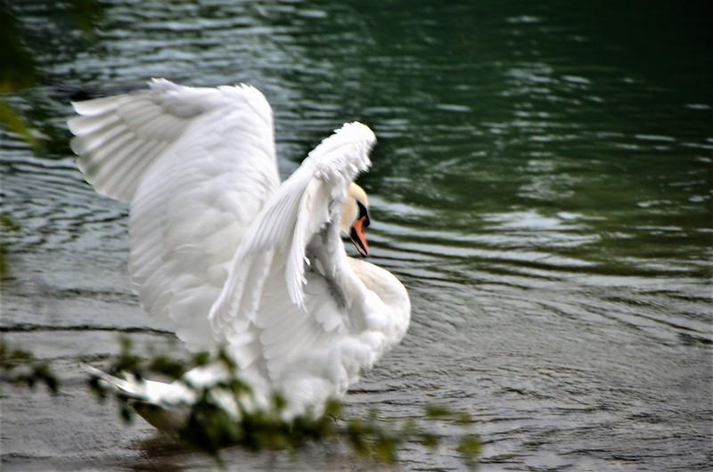 Swan 02.08 (2)