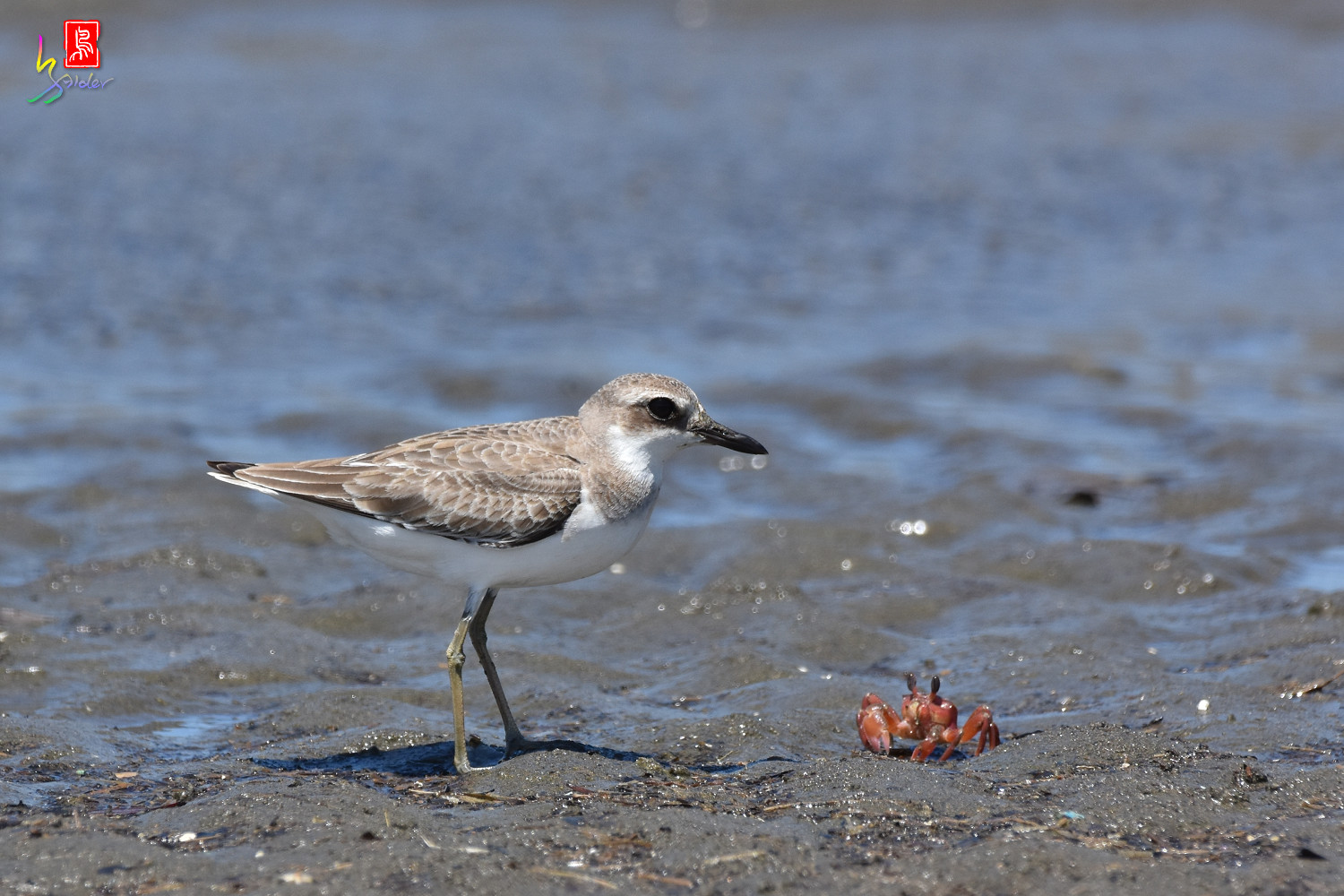 Greater_Sand_Plover_2988