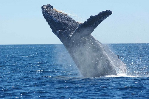 Whale Watch at Dominican Republic's Samaná Bay. From Top 10 Interesting Places to Visit in the Caribbean