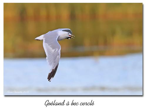 Goéland à bec cerclé / Ring-Billed Gull  153A1028