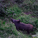 wild pig just before hunting time...