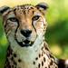 <p><a href=&quot;http://www.flickr.com/people/rjtrixster/&quot;>R.J.Boyd</a> posted a photo:</p>&#xA;&#xA;<p><a href=&quot;http://www.flickr.com/photos/rjtrixster/43441524724/&quot; title=&quot;Cheetah 19-07-18 (1)&quot;><img src=&quot;http://farm2.staticflickr.com/1885/43441524724_82ca1c8216_m.jpg&quot; width=&quot;240&quot; height=&quot;192&quot; alt=&quot;Cheetah 19-07-18 (1)&quot; /></a></p>&#xA;&#xA;