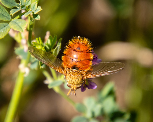 Tachinid fly - Adejeania vexatrix ?