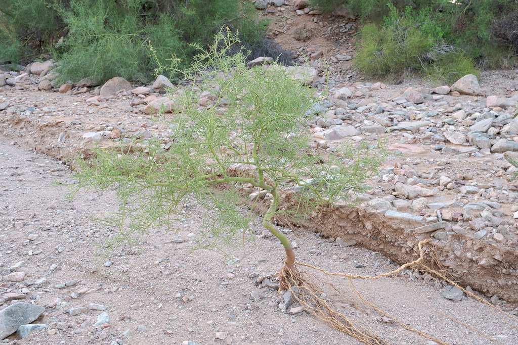 A foothill palo verde with its roots exposed in a wash at Lost Dog Wash in McDowell Sonoran Preserve