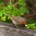 English Nature- Robin