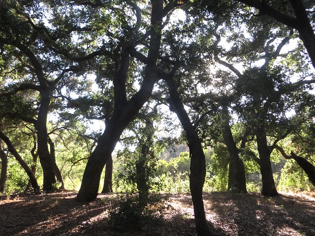 oaks in the afternoon