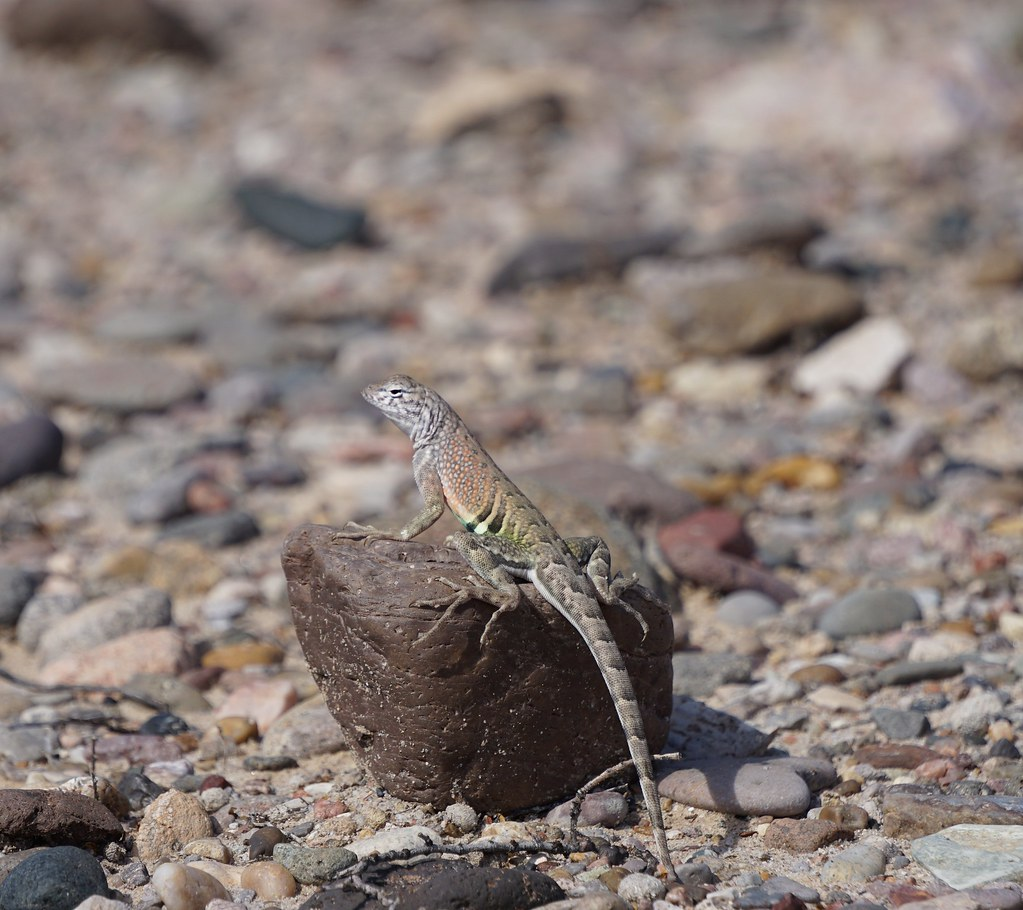 Southwestern Earless Lizard