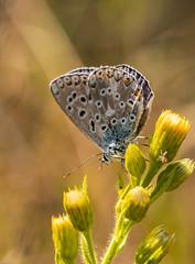 Azuré bleu céleste, Bel Argus