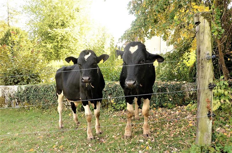 Cows 15.09 (5)