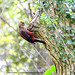 Criticaly endagered birds of Okinawa, Pryers woodpecker by Okinawa Nature Photography