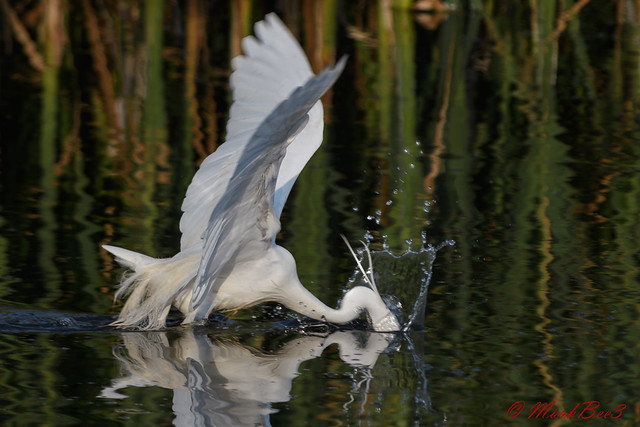 Little Egret, Nikon D500, AF-S VR Nikkor 300mm f/2.8G IF-ED