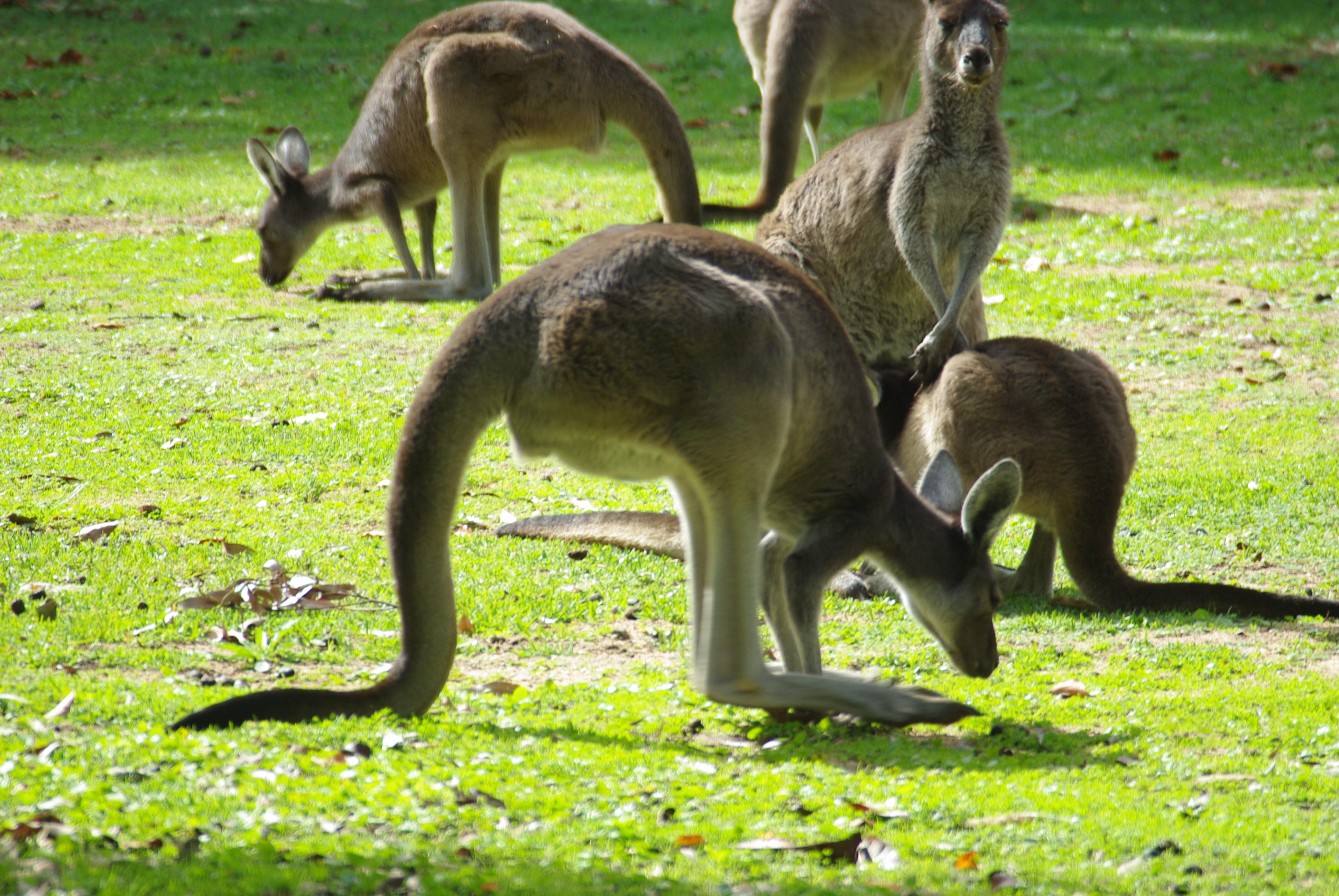 Western grey kangaroos (Macropus fuliginosus) feeding, Darling Range, western Australia. Photo taken on May 10, 2010.