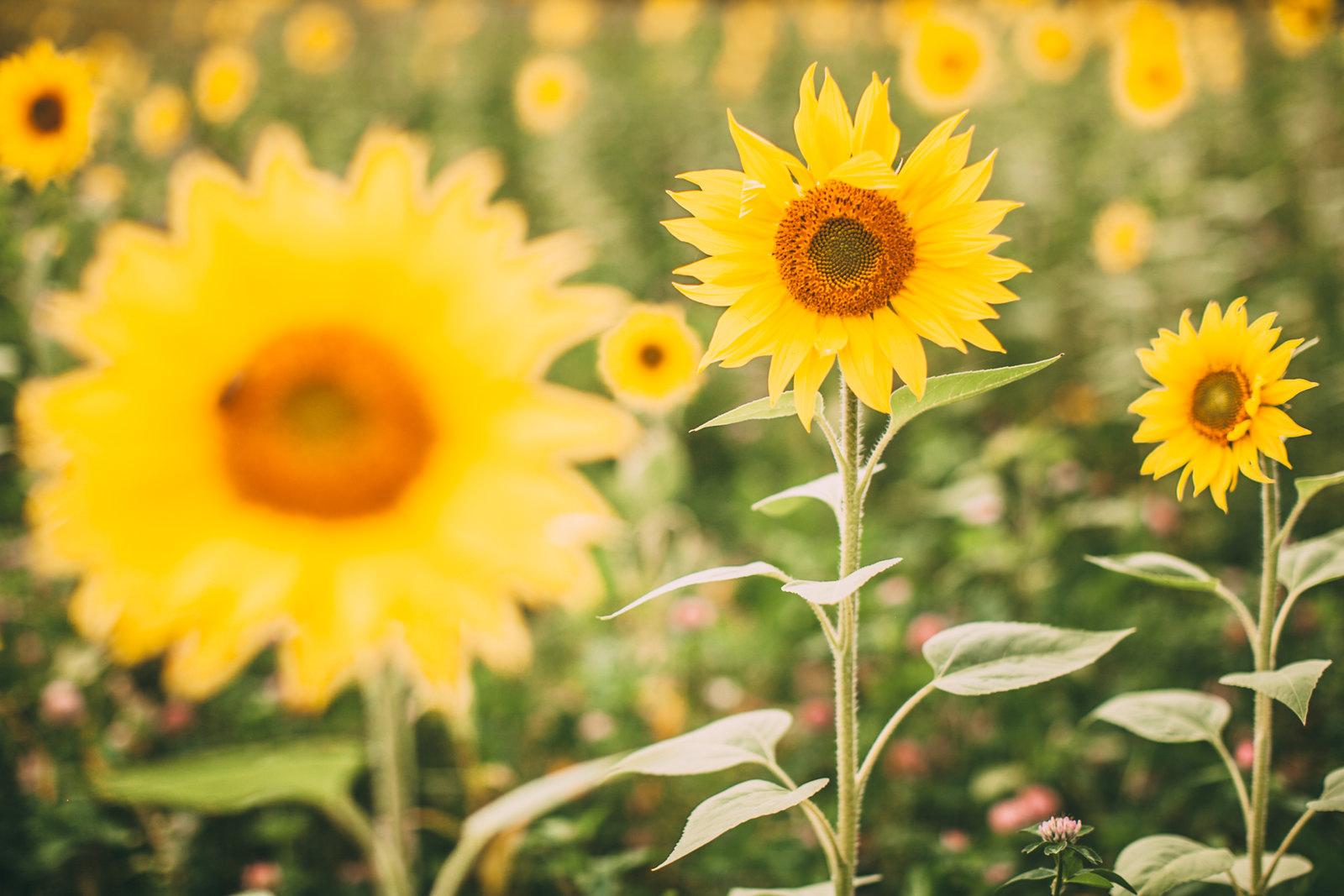 sunflower field-21