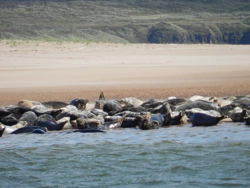 Seals, from Newburgh Sands, Newburgh, Aberdeenshire, Aug 2018