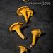 Chanterelles: autumn gold by Keith Gooderham