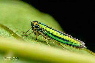 Leafhopper (Cicadellidae) - DSC_1336