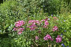 2018.06.20.069 CASTILLON - Les jardins, allée des fleurs