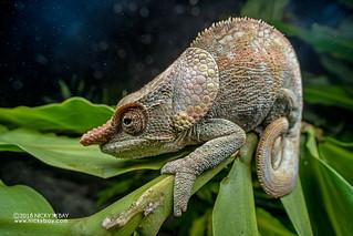 Short-horned chameleon (Calumma brevicorne) - DSC_3055