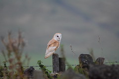 Barn Owl 6th Sept