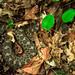 Massausaga rattlesnake (Sistrurus catenatus)