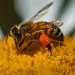 Pollen pellet on the saddlebag by FotoGrazio