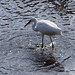 Little Egret    M9024821sm