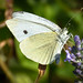 White Butterfly, West Yorkshire, UK