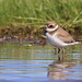 Semipalmated Plover / Pluvier semipalmé by ricketdi